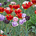 Tulips by Ivan Slosar