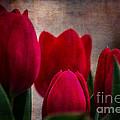 Tulips by Judy Wolinsky