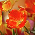 Tulips by Kathleen Struckle