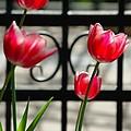 Tulips by Krzysztof Baginski
