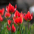 Tulips by Martin Popov