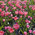 Tulips by Matthias Hauser