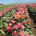 Tulips Mt Hood by Marlene Rose Besso