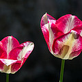 Tulips Of A Kind by Photographic Arts And Design Studio