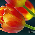 Tulips On Black 2a by Sharon Talson