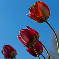 Tulips On Blue by Photographic Arts And Design Studio