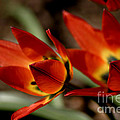 Tulips On Fire by Living Color Photography Lorraine Lynch
