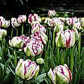 Tulips by Pam Headridge