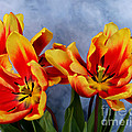 Tulips Radiance by To-Tam Gerwe