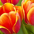 Tulips Red And Yellow by Regina Geoghan