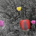 Tulips Reign by Sergiu Casian