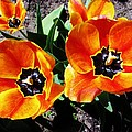 Tulips by Sherman Perry