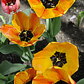 Tulips Tp by Jim Brage
