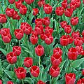 Tulips Tulips And Tulips by Eva Kaufman