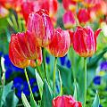 Tulips by Val Stone Creager