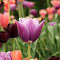 Tulips Welcome Spring by Eva Kaufman