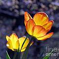 Tulips With Purple Bokeh by Lili Feinstein