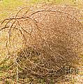 Tumbleweed by Millard H. Sharp