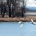 Tundra Swan Flight by Edward Peterson