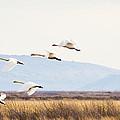 Tundra Swans In Flight by Priya Ghose
