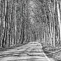 Tunnel Of Trees Black And White by LeeAnn McLaneGoetz McLaneGoetzStudioLLCcom