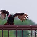 Turkey Buzzard Landing by Terry Cotton