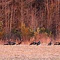 8964 - Turkey - Eastern Wild Turkey by Travis Truelove