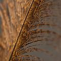 Turkey Feather by Karol Livote