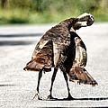 Turkey Fight by Cheryl Baxter