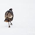 Turkey In The Snow by Cheryl Baxter