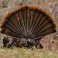 Turkey Tail by Amy Porter