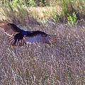 Turkey Vulture 2 by Thomas Sellberg