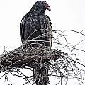 Turkey Vulture by Douglas Barnard
