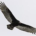 Turkey Vulture In Flight by Thomas Young