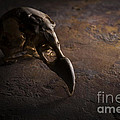 Turkey Vulture Skull On Slate by Art Whitton
