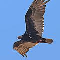 Turkey Vulture Soaring Overhead Drb153 by Gerry Gantt