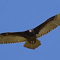Turkey Vulture Soaring Overhead by San Diego Zoo