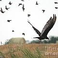 Turkey Vulture Takes Flight by J McCombie
