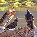 Turkey Vultures Aka Dracula by Peggy Collins