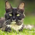 Turkish Angora Cat by Jean-Michel Labat
