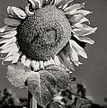 Turkish Sunflower 3 by Bob Phillips