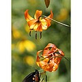 Turks Cap Lilies And Butterfly by Debora Morrison Short