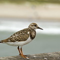 Turnstone by Debby Richards