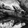 Turtle Bffs Bw By Denise Dube by Denise Dube