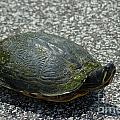 Turtle Crossing by Dale Powell