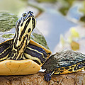 Turtle Family by Patrick M Lynch