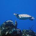 Turtle Flying Underwater by Jim Murphy