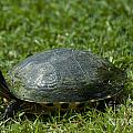 Turtle Grass by Dale Powell