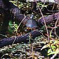 Turtle In The Glades by Chuck  Hicks