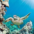 Turtle In Tropical Ocean by M Swiet Productions